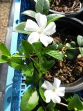 Vinca minor Colada 1L Pot